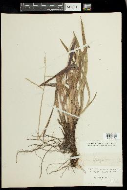 Paspalum longipilum image