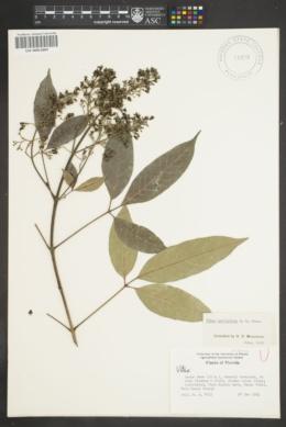 Image of Vitex parviflora
