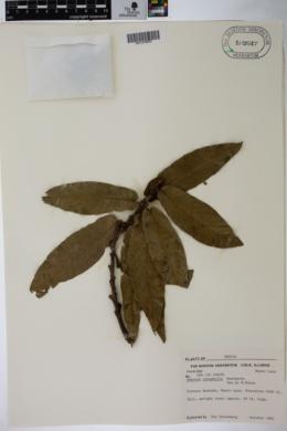 Quercus rysophylla image