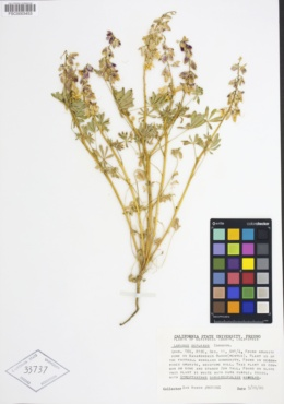 Lupinus citrinus var. deflexus image