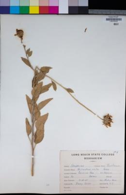 Helianthus bolanderi image