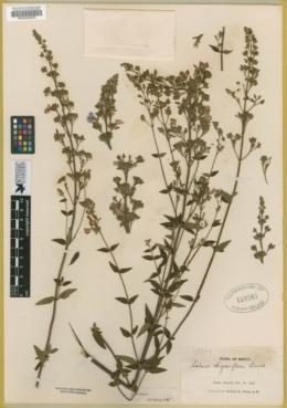 Image of Salvia thyrsiflora