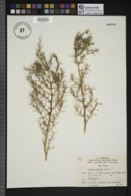 Image of Fagonia indica