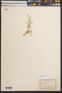 Image of Micranthes bryophora