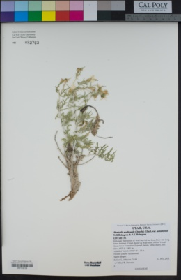 Mentzelia multicaulis image
