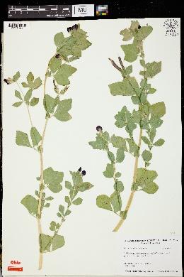 Tetragonolobus purpureus image