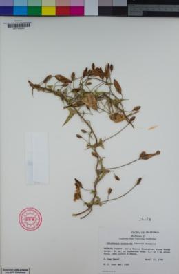 Image of Calystegia purpurata
