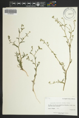Image of Cryptantha dumetorum
