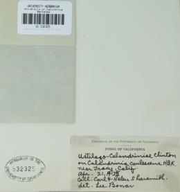 Microbotryum calandriniae image