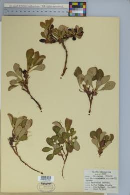 Image of Polytrichastrum alpinum