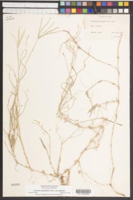 Cynodon dactylon var. dactylon image