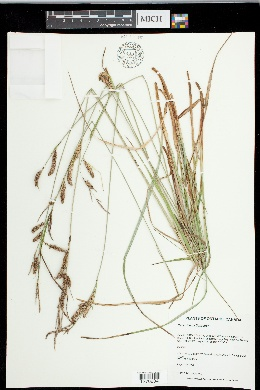 Carex flacca image