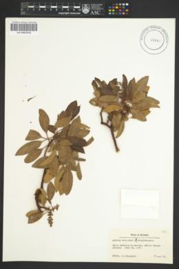 Arbutus arizonica image