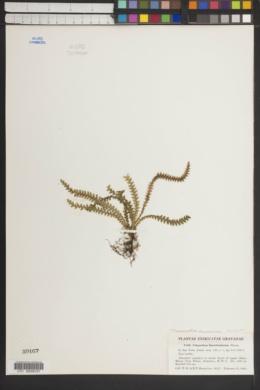 Micropolypodium knowltoniorum image