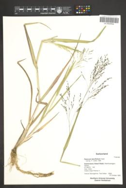 Image of Panicum laevifolium