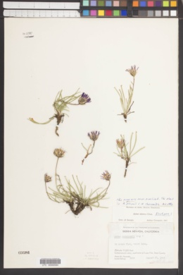Image of Aster peirsonii