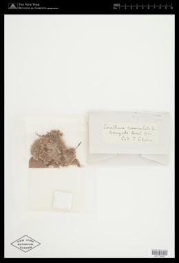 Jania rubens var. corniculata image