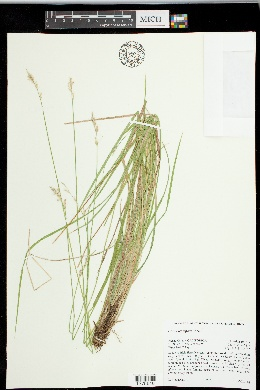 Carex leptopoda image