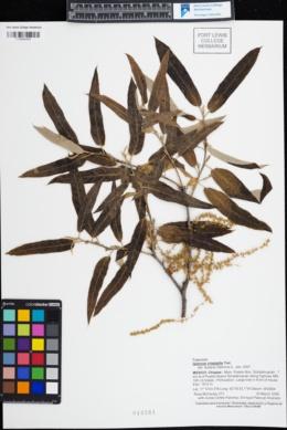 Image of Quercus crispipilis