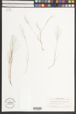 Image of Muhlenbergia shepherdi
