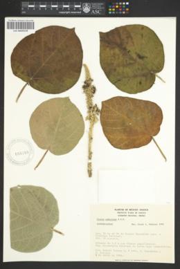Image of Croton suberosus