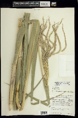 Image of Tripsacum pilosum