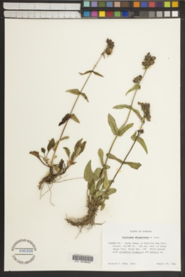Penstemon whippleanus image