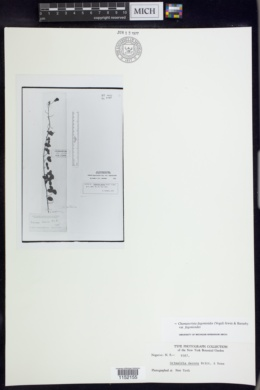 Chamaecrista fagonioides image