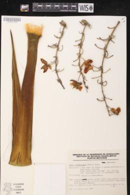 Image of Yucca jaliscensis