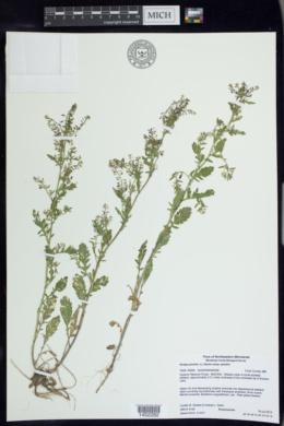 Rorippa palustris subsp. palustris image