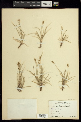 Image of Carex potosina