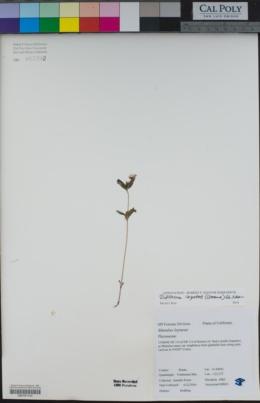 Diplacus layneae image