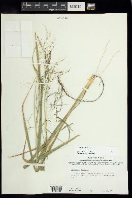 Sporobolus buckleyi image