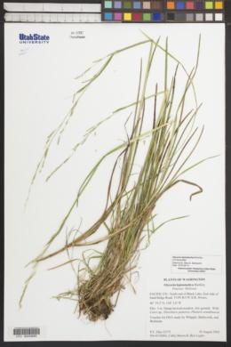 Image of Glyceria leptostachya