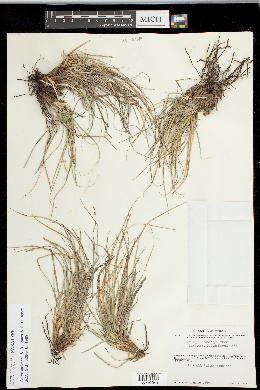 Carex lativena image