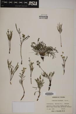 Image of Lomatium brandegeei