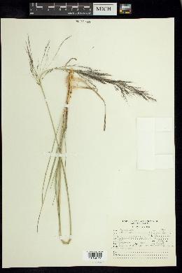 Muhlenbergia rigida image