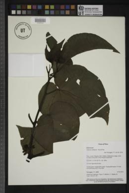 Image of Solanum obliquum