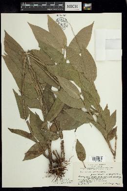 Image of Streptochaeta spicata