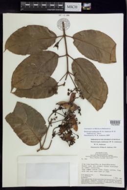 Image of Bronwenia mathiasiae