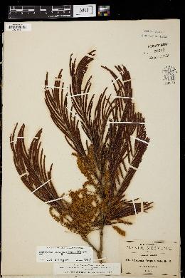 Image of Lysiloma acapulcense
