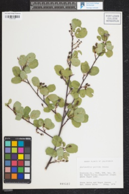 Image of Amelanchier pallida