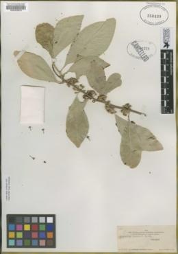 Bumelia palmeri image