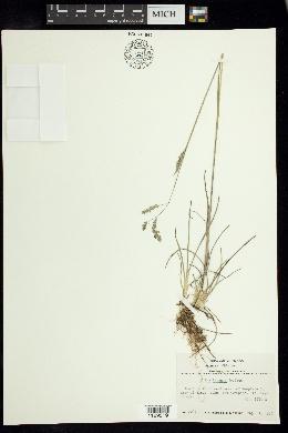 Image of Poa tacanae