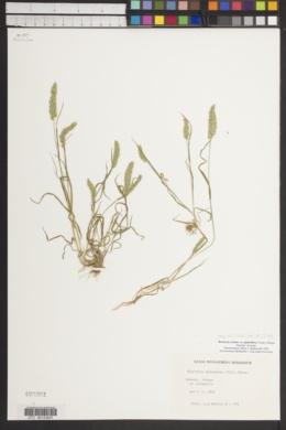 Rostraria cristata image