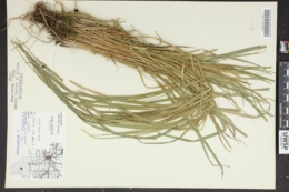 Carex projecta image