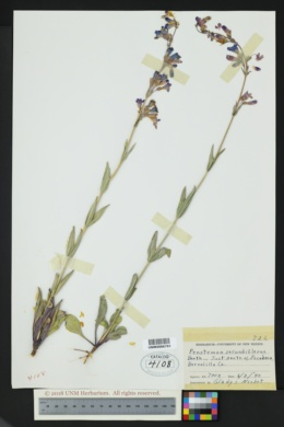 Penstemon secundiflorus image