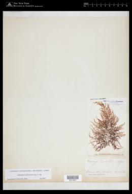 Helminthora divaricata image