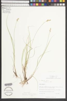 Carex integra image
