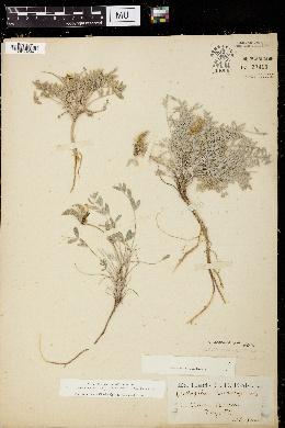 Image of Astragalus eurekensis